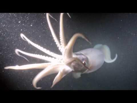 .::Calamar Colosal::. 0