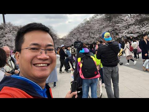 LIVE Ngắm hàng nghìn Hoa Anh Đào đang nở tại Nhật