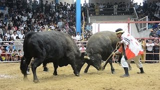 【鹿児島県】ド迫力!牛同士の意地と意地のぶつかり合い