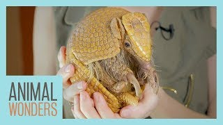 Mee and Greet - Gaia the 3 Banded Armadillo! by Animal Wonders
