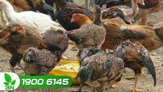 Chăn nuôi gà | Gà mắc bệnh CRD ghép bệnh ký sinh trùng đường máu