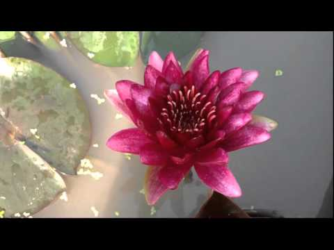 BLACK PRINCESS WATER LILY