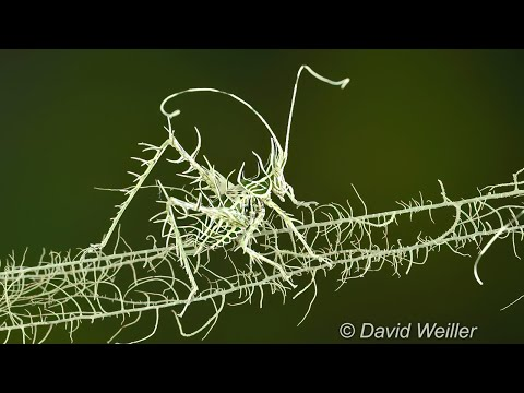 Video Of A Lichen Katydid s Amazing Camouflage