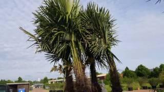 Winterharte Palmen kaufen winterharte Palmen für Garten und Balkon Video