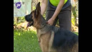 Kỳ 8: Giới thiệu về giống chó Shepherd German (GSD)