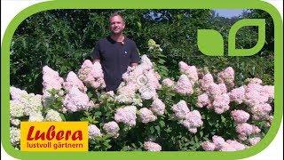 Hortensien (Hydrangeasy®) - die einfachsten Rispenhortensien