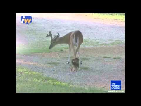 iWitness – Dog (Lady The Chihuahua) plays with deer BFF