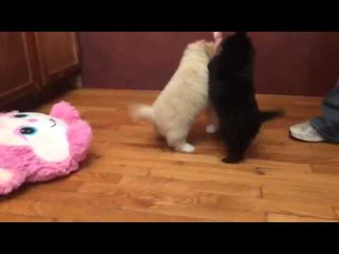 Sugar-Pomapoo puppy playing