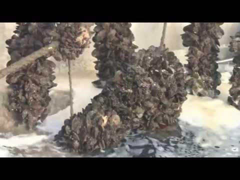 Mussel Harvesting New Zealand