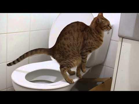 почему кошка метит в квартире как кот