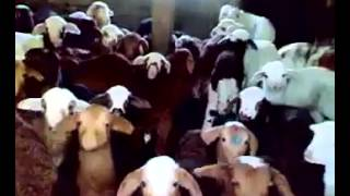 Baby Goats Talking Back