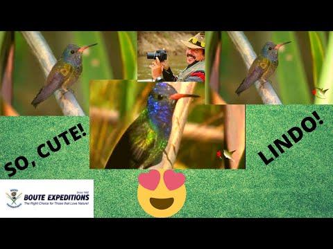 Hummingbirds - White-chinned Sapphire