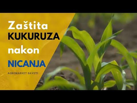 Zaštita kukuruza post-em do 5- lista