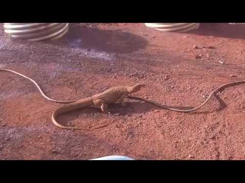 어리둥절한-도마뱀-다시보기