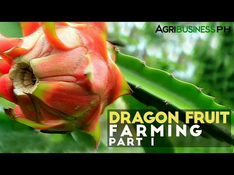 Dragon fruit farming in the Philippines : Dragon fruit farming Part 1 #Agribusiness