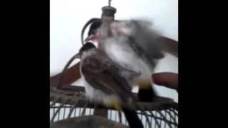 Download lagu Cara Menjinakan Burung Kutilang Alla Wawan Sofian Mp3