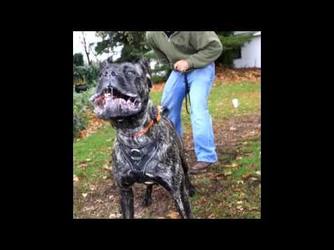 Amazingly Trained Cane Corso From Man's Best Friend Dog Training
