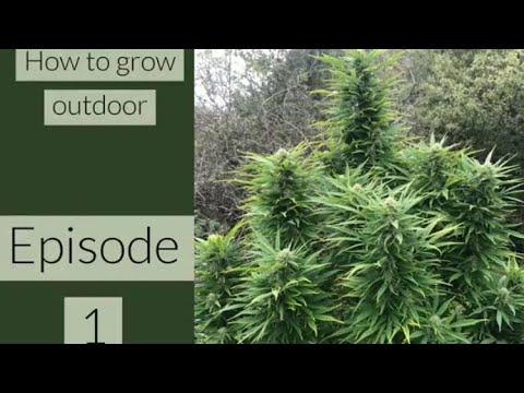 PREPARING YOUR SEEDLINGS !! GUERRILLA GROW SERIES by the OUTDOOR WARRIROR episode 1