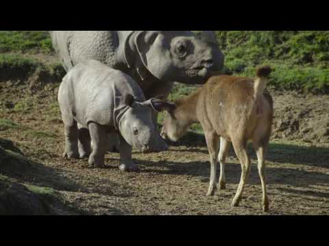 Baby Rhino Explores the World Around Him