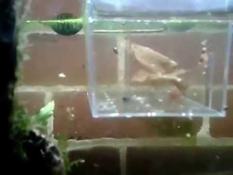Selective Breeding Crystal Red Shrimp – How To Video