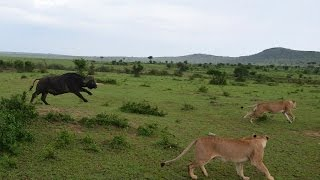 Maasai Mara Kenya  city pictures gallery : Lion VS Buffalo - 1 Buffalo attack 4 Lions, Masai Mara, Kenya