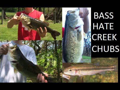 Fishing for big bass with creek chubs