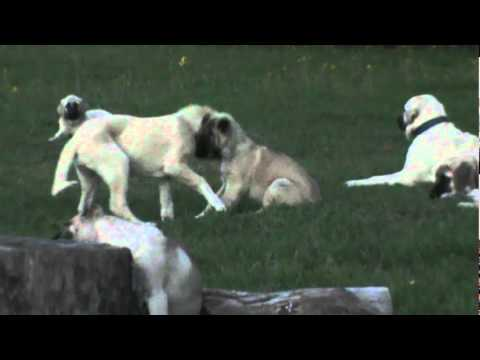 Turkish sheperd dog - Turkish Boz Shepherd and Kangal dogs and puppies playing in the pasture. Livestock Guardian or family Protection dogs.