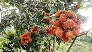 রাম্বুটান (Rambutan):...