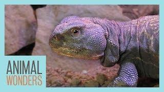 Meet and Greet: Argos the Mali Uromastyx by Animal Wonders