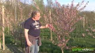 #1032 Japanische Zierkirsche - Prunus okame