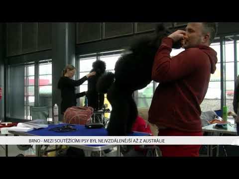 TV Brno 1: 6.2.2018 Mezi soutěžícími psy byl nejvzdálenější až z Austrálie.