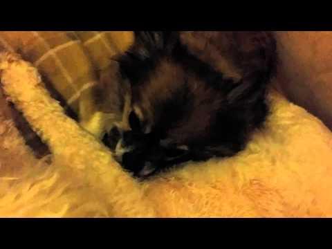My chihuahua grooming my bichon