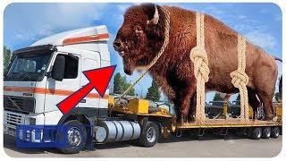 Video WOW !! Inilah 5 hewan raksasa yang masih hidup sampai sekarang MP3, 3GP, MP4, WEBM, AVI, FLV Agustus 2018