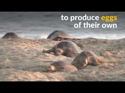 Thousands of olive ridley marine turtles arrive on a protected beach in Mexico to lay their eggs in the sand.