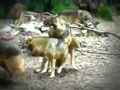 Animale salvajes en celo videos videos relacionados con animale salvajes en celo - Animales salvajes apareandose ...