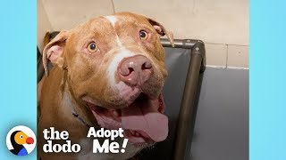 Pittie Stuck In The Shelter For A Year Just Wants To Be A Family Member  | The Dodo Adopt Me! by The Dodo