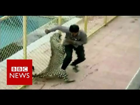 Leopard gets loose and tries to eat EVERYONE!