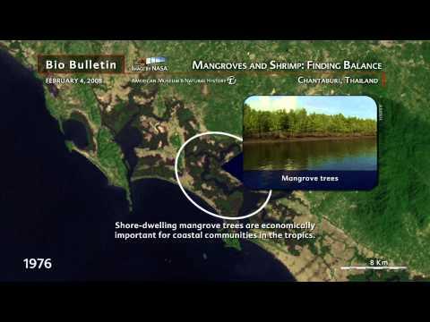 Science Bulletins: Mangroves and Shrimp: Finding Balance