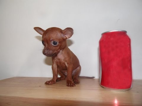 Micro Teacup Chihuahua for Sale