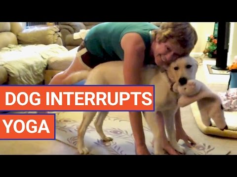 Hard to do yoga when your Labrador wants to get in on the act