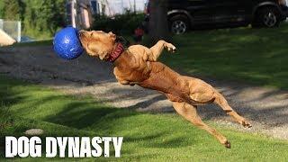 Tak wygląda hardcorowy trening pitbulla!
