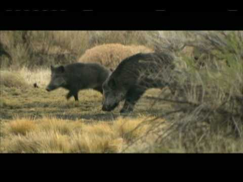 MONSTER WILD BOAR HEAD KILL SHOT: SLOW-MOTION