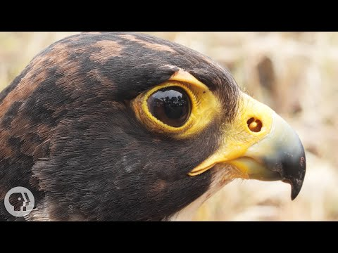 Peregrine falcons catch other birds...