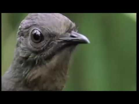 The Lyrebird Goes Skrrrrrat