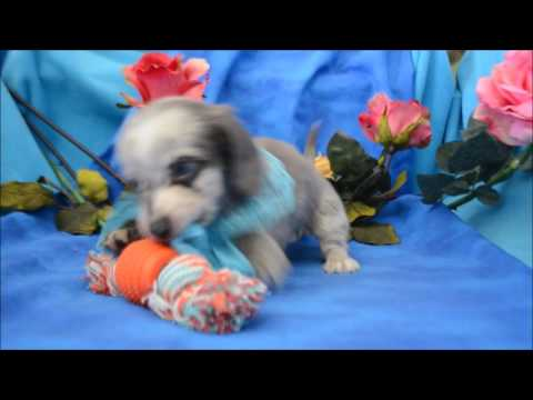 Prince AKC Blue Eyed Blue Dapple Male LH Miniature Dachshund Puppy for sale