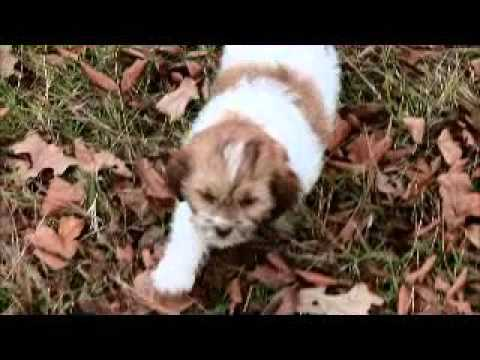 Yoda male red liver and white male shipoo for sale