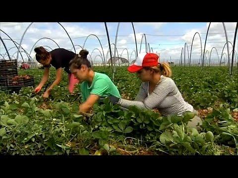 Händeringend gesucht: 6.000 Erdbeerpflückerinnen für Spanien