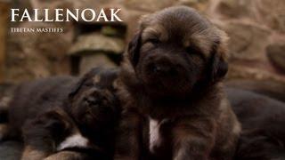 Nonton Tibetan Mastiff Puppies Film Subtitle Indonesia Streaming Movie Download