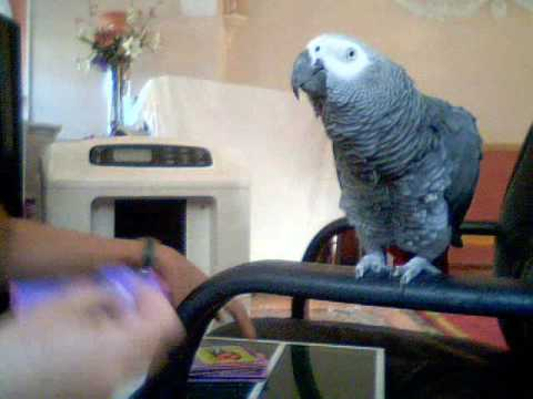 Genius parrot know his words to picture puzzles.