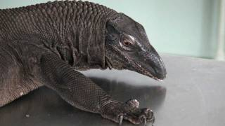 Reptiles: handling large lizards